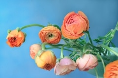 Peach and Orange Ranunculus