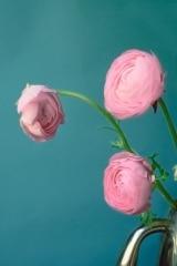 Baby Pink Ranunculus