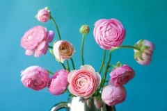Turquoise and Pink Ranunculus